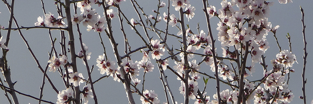 almond_blossoms