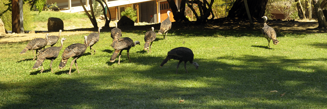 Turkeys in Park