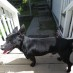 Little Black Dog Escaped Yard
