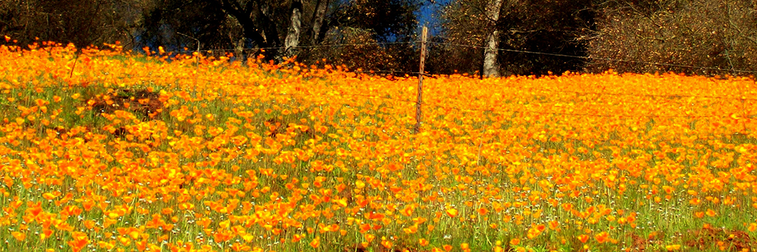 CA-Poppies-1