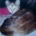 Missing Cat in Moke Hill