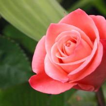 Historic Roses  — Speaker Series