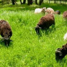 Regenerative Lamb For Your Table